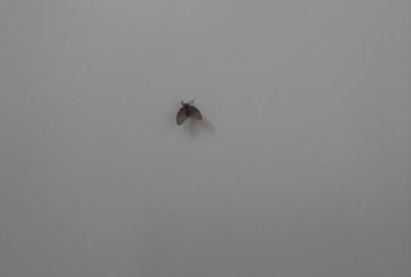 チョウバエの幼虫は?見た目や特徴